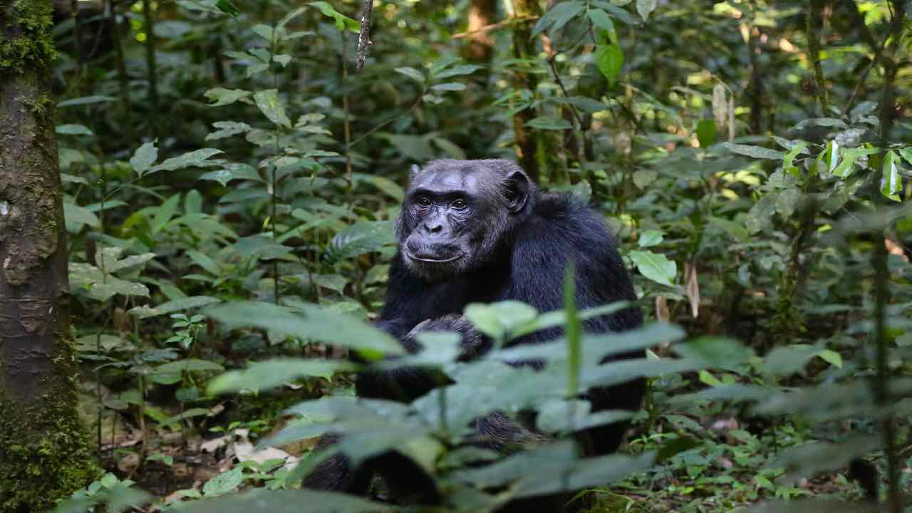 Scimpanzé videocall